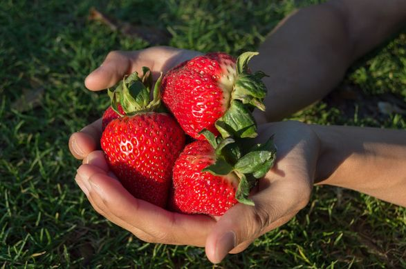 UC Davis Selects Global Plant Genetics, Ltd. for Strawberry Licensing in Europe, Mediterranean and South America