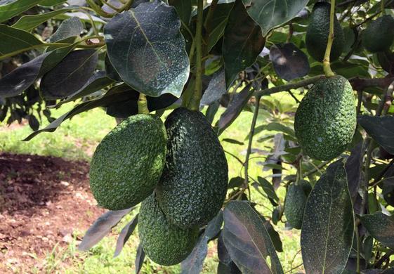 Mexico's avocado exports remain stable in 2018/19 despite strikes