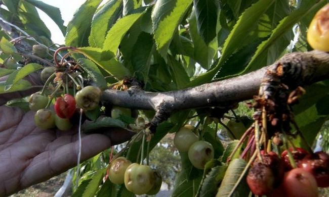 Chile's cherry exports hit by hail