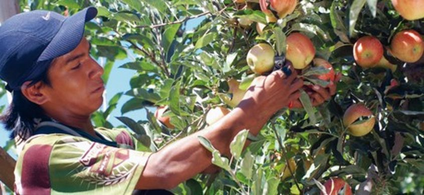 Argentina's apple and pear crops rise despite smaller production area