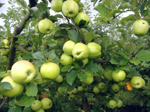 Romania apple crop up 50%