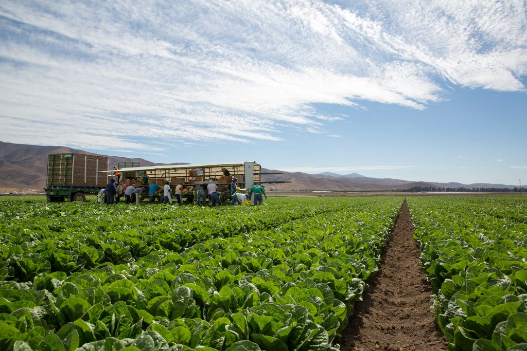 Genetic resistances are critical in organic vegetables