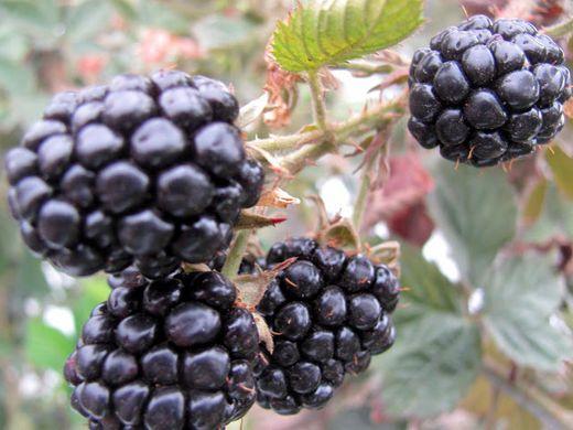 Mexico's berry exports reach US$2.1 billion