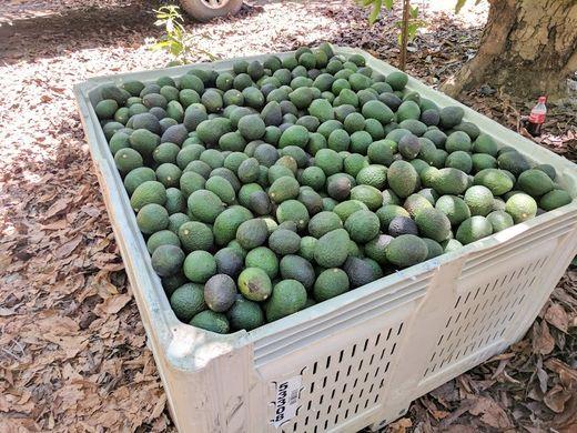Heatwave leads to 48% drop in California avocado crop