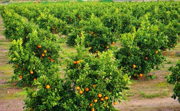 Slump in Spanish citrus crop