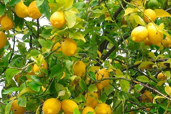 Argentina expects higher lemon volumes in 2018/19
