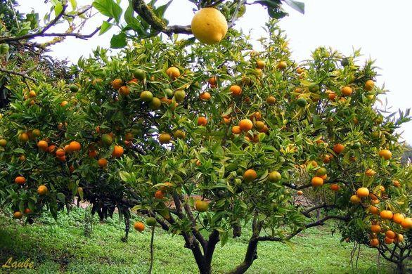 Decrease in Italy's orange and lemon crops
