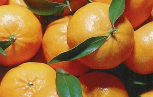 Good start to Ciaculli late mandarin campaign in Italy