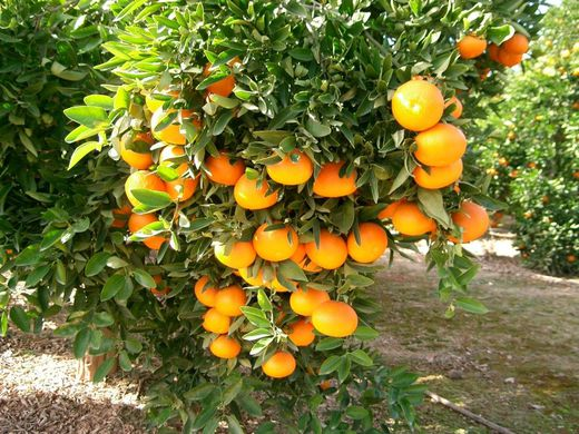 Mexico's citrus forecast to rise in 2018/19