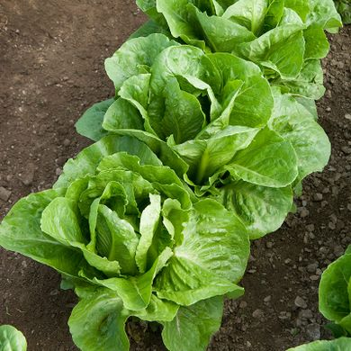 Nunhems® commits to a smaller and tastier Romaine lettuce to encourage consumption