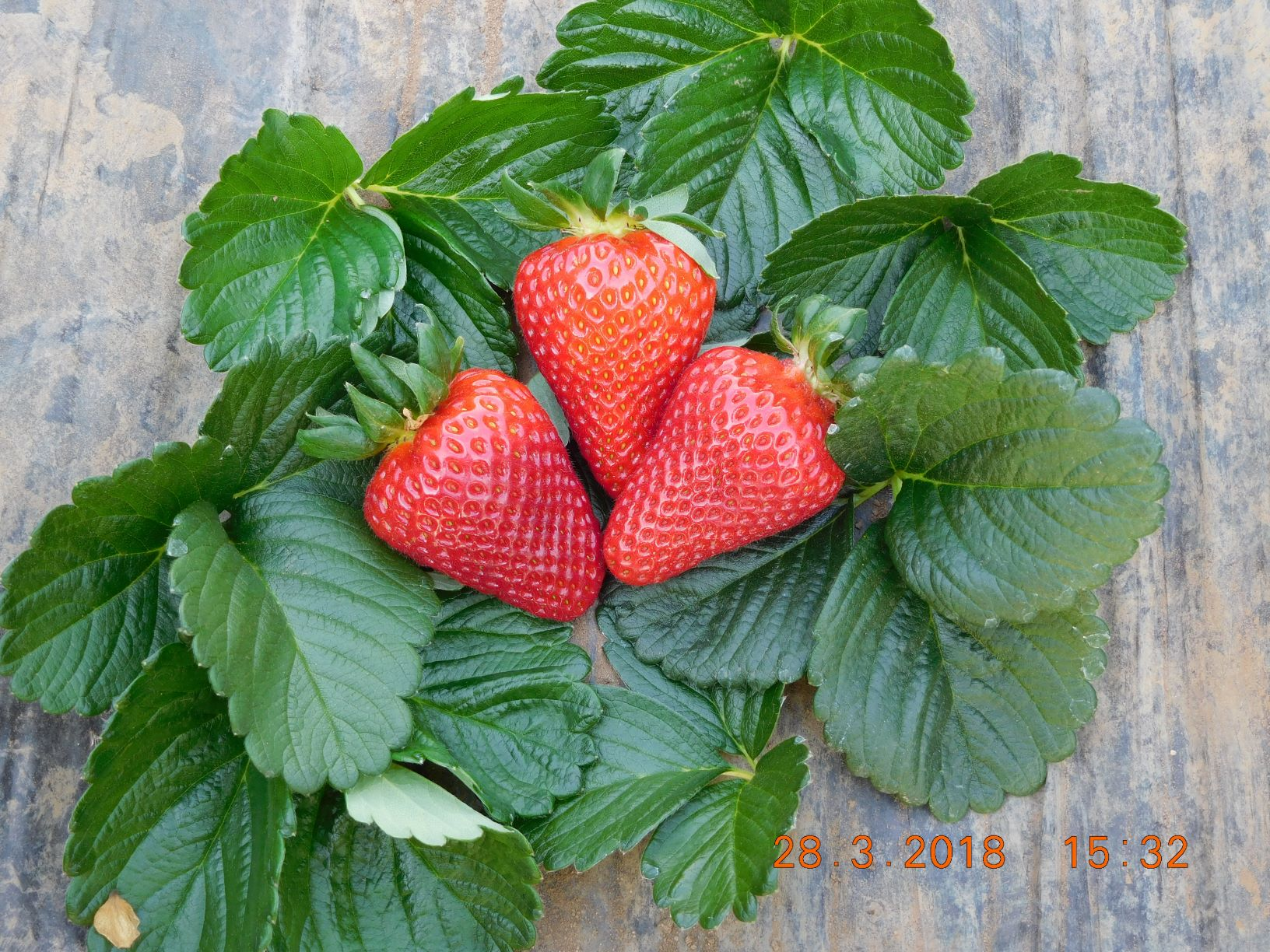 CIV focuses on innovation, presenting 5 new strawberry varieties destined for international markets at the Global Berry Congress 2019 in Rotterdam