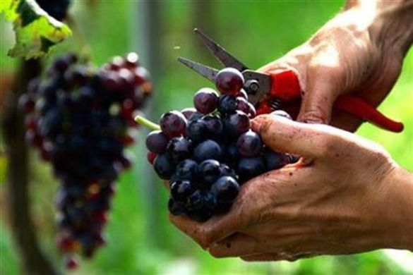 Concerns over India's grape exports