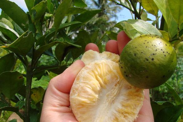 HLB bacteria could destroy Spanish citrus in 15 years