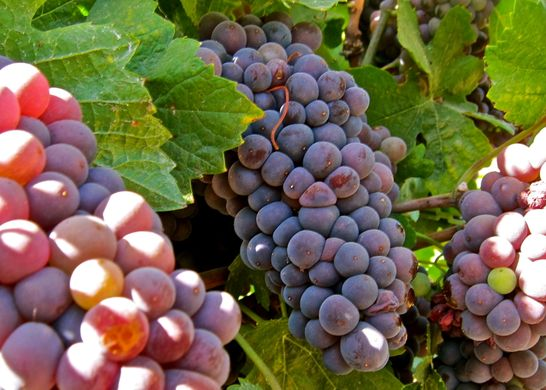 Italy leads Europe in grapes and pear production