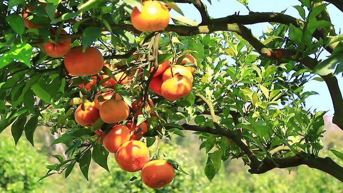 Reduction in European orange farming