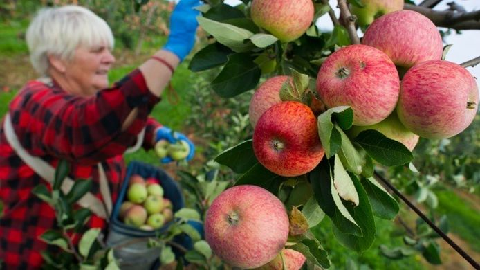 Poland concerned about the increase in apple production