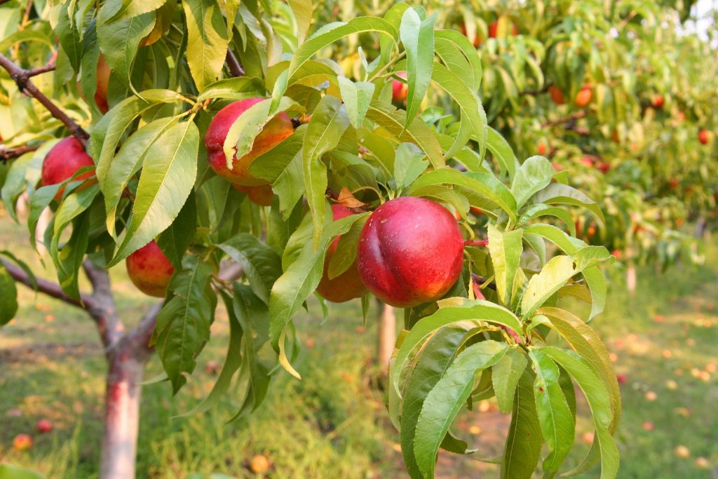 Chilean Stone Fruits Month gets underway in China