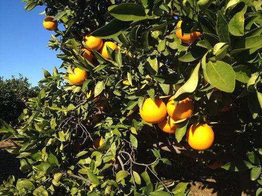 General rise in Spanish 2019 citrus crop