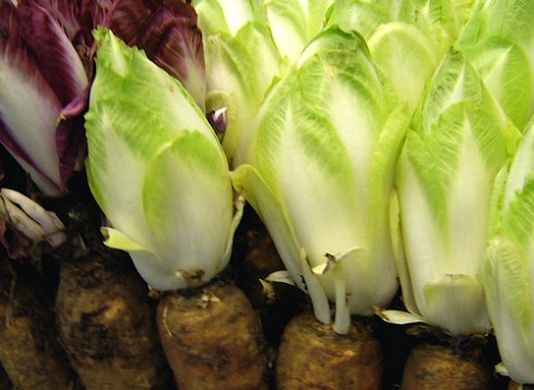 Spain's 2019 endive crop expected to rise by 11.8%
