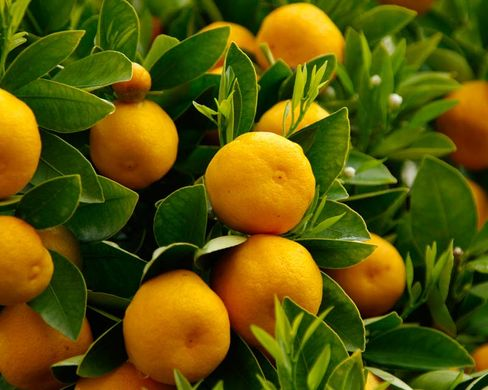 Valencia's citrus farmers call on EU to combat effects of rising imports