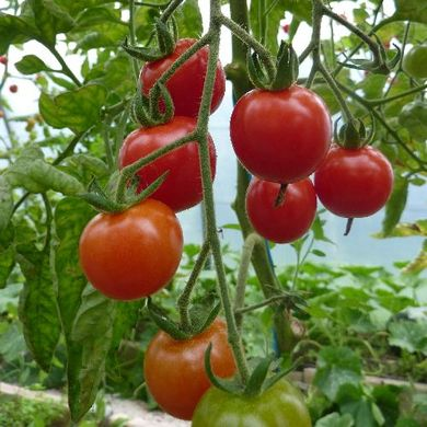 US imposes 17.5% tariff on Mexican tomatoes