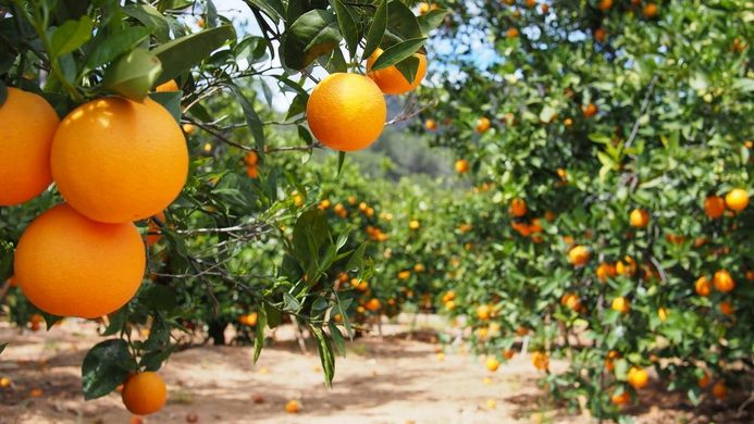 Strong growth in Spain's citrus output