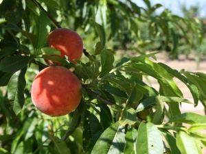 Abysmal state of market for Valencia's stone fruit