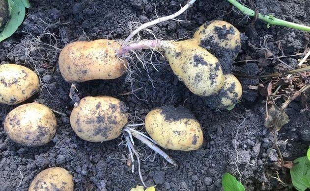 Large French potato crop
