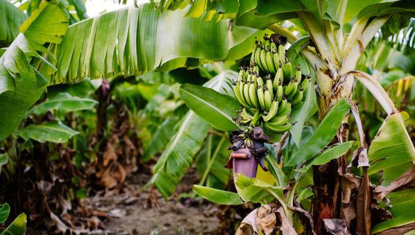 Outbreak of Fusarium Wilt disease at Colombian banana plantations