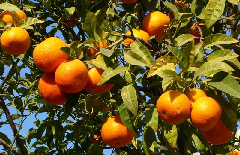 Large EU citrus crop in 2018/19 campaign