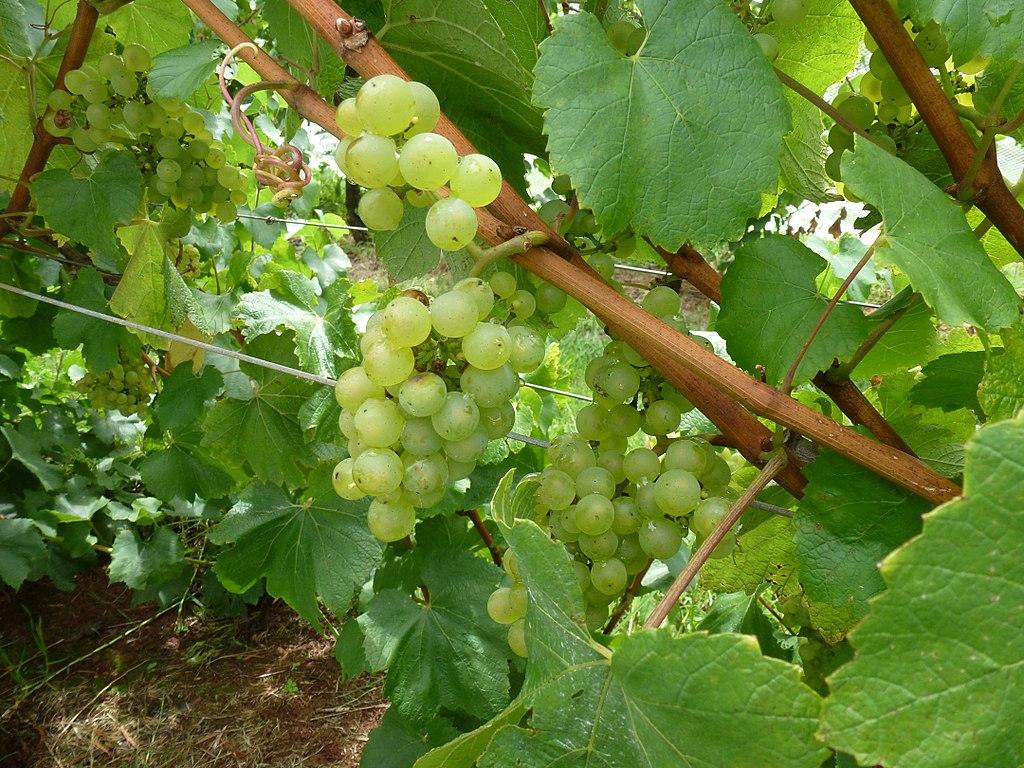 Record Australian grape exports to China
