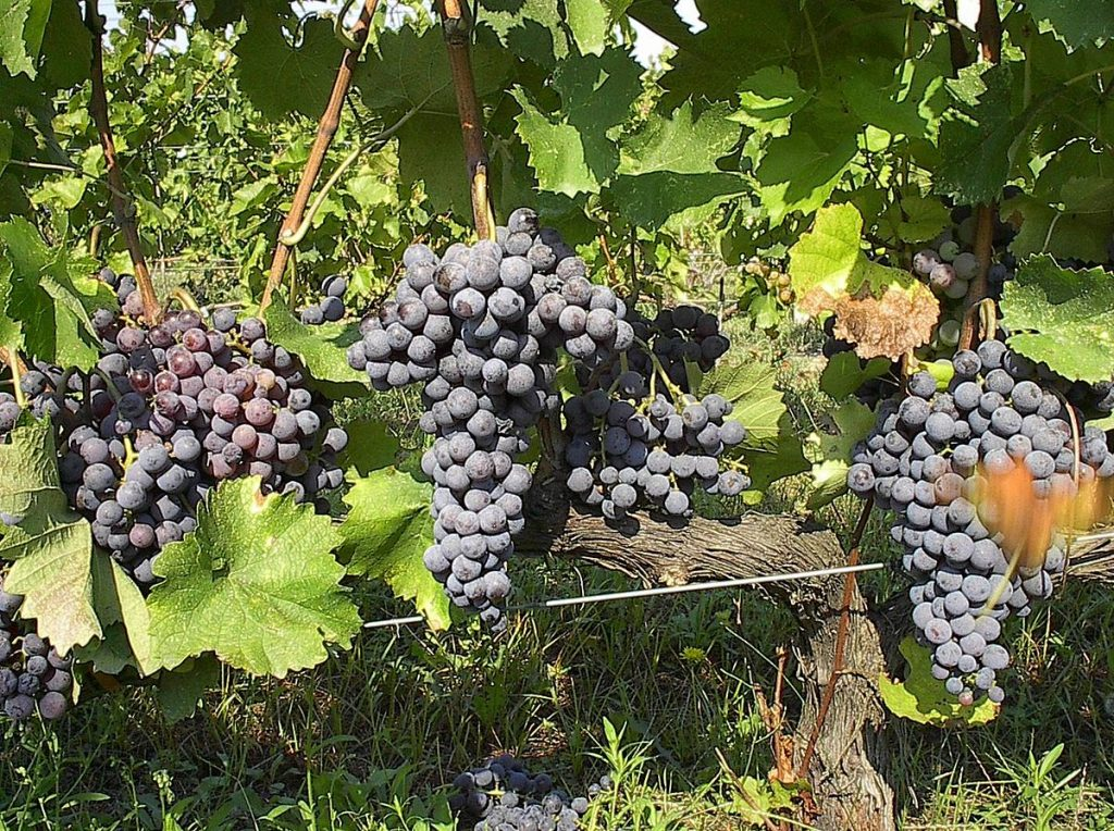 Bright prospects for Greek grape campaign
