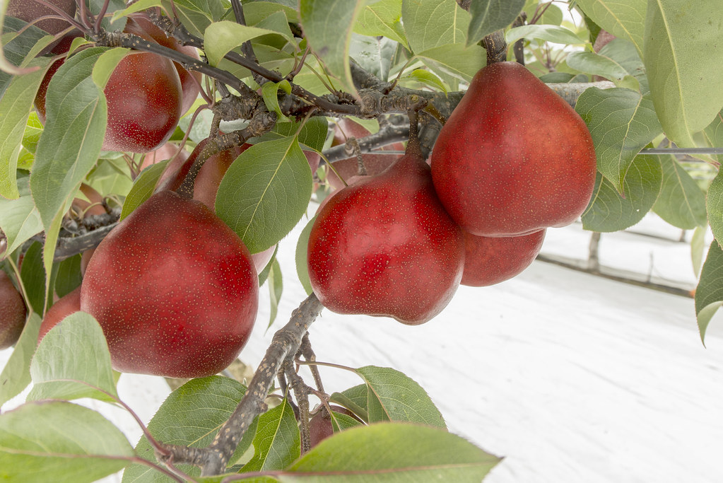 Surge in exports of Australian peaches and nectarines to China