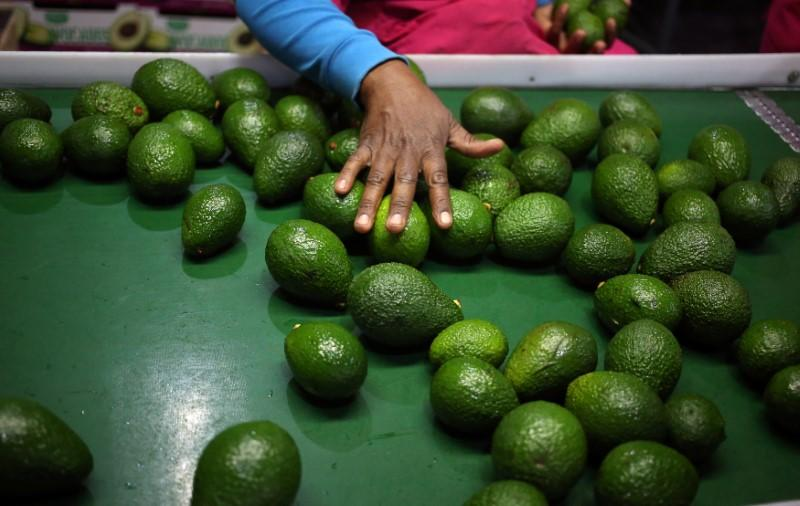 25% drop in South Africa's avocado production