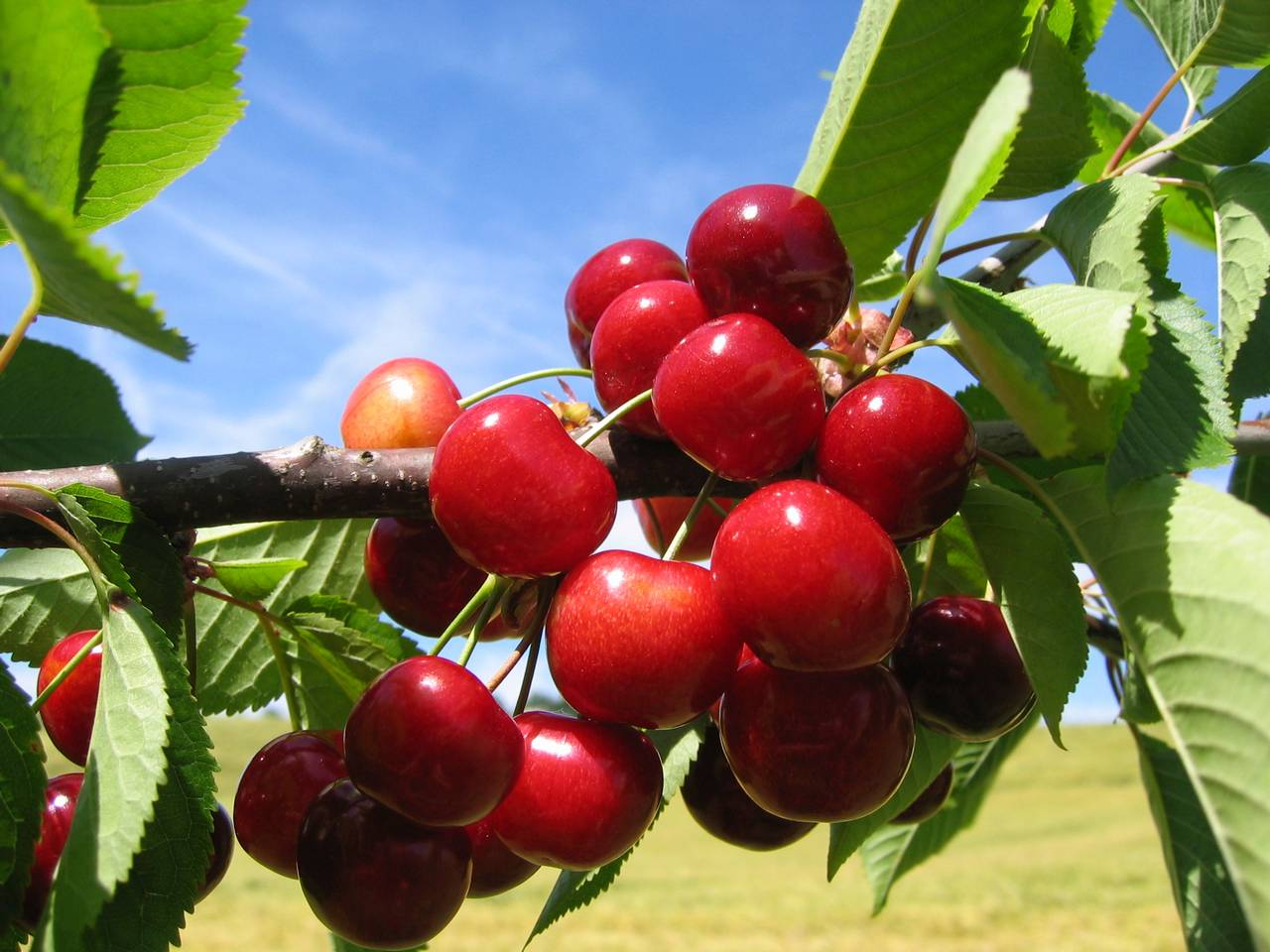 Turkey expects an 8.5% rise in its cherry production in 2020/21