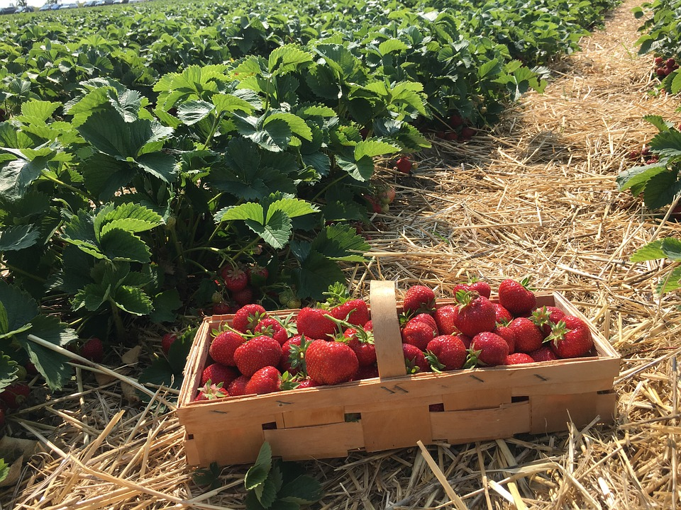 Challenging raspberry campaign for Huelva
