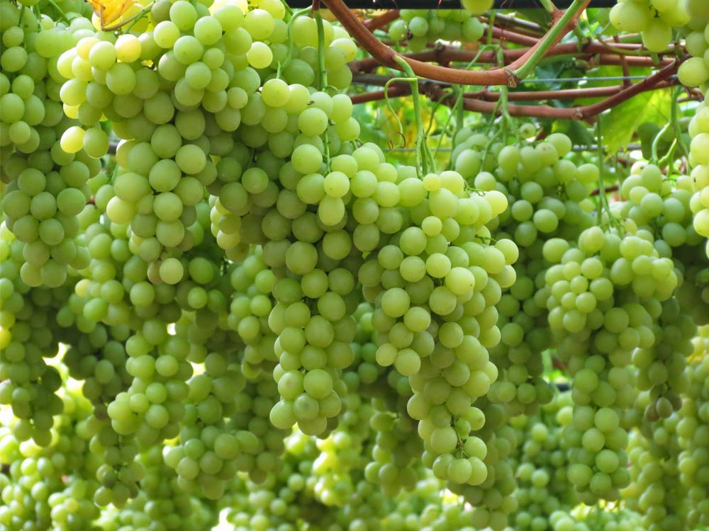 Italian grape sector fights to stop decline
