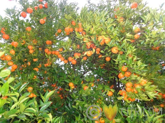 Spanish citrus sector appeals to supermarkets not to buy South African citrus