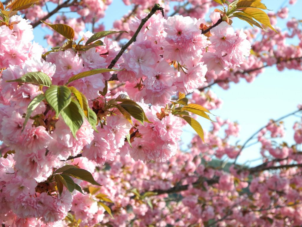 Japan's cherry production continues to fall
