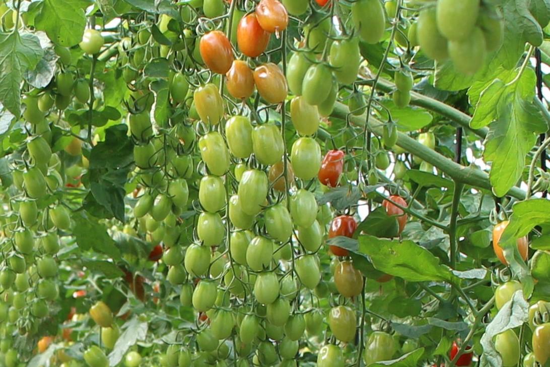 Increase in Spanish tomato crop