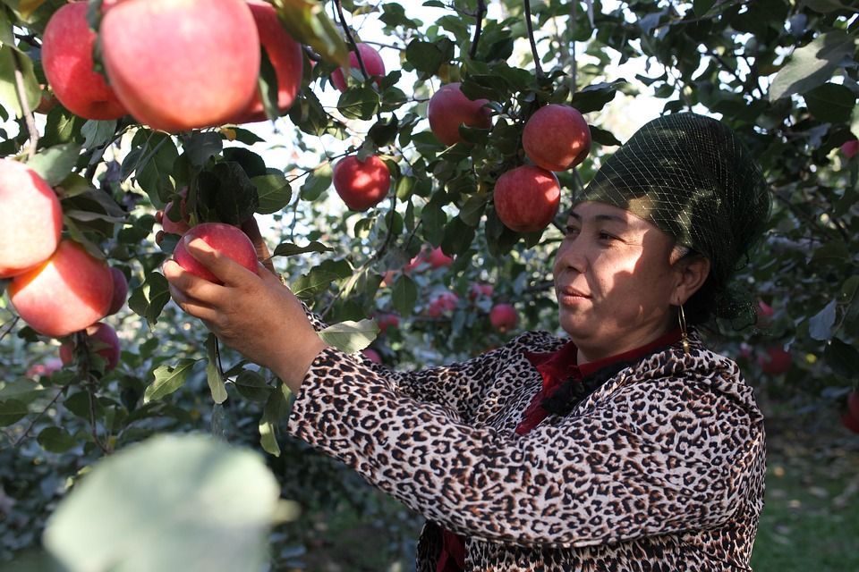 Chinese apple exports rebound as EU struggles