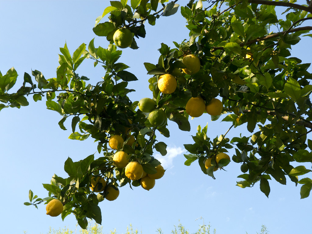 Argentine lemons to land in China finally