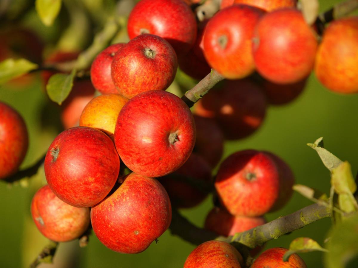 China and EU experience contrasting apple crops, credit: Calvados Tourisme (calvados-tourisme.com)