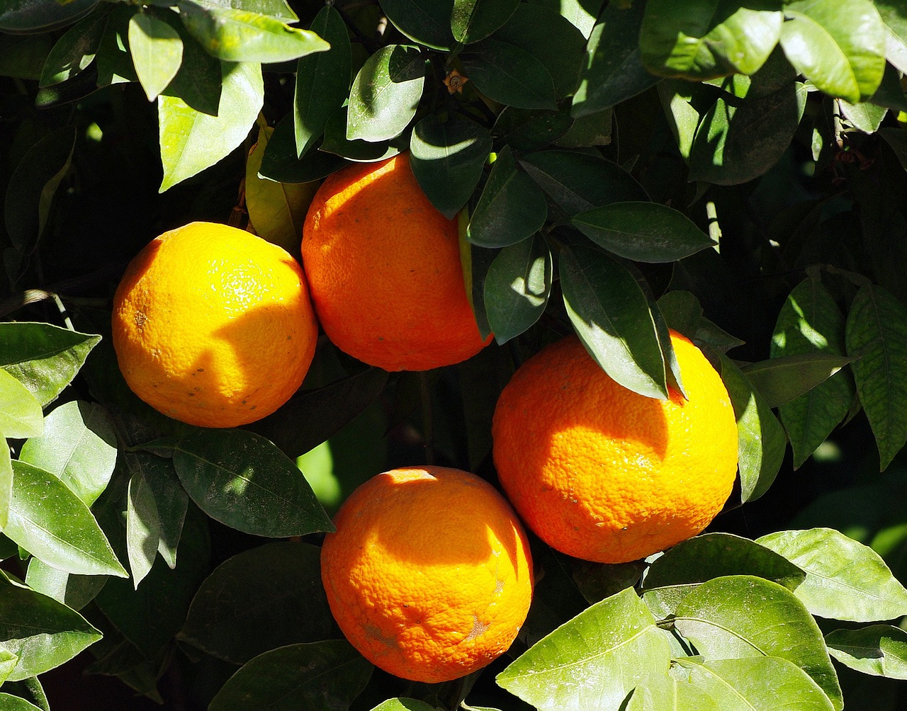 Troubling times for Moroccan citrus