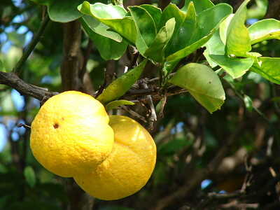 WCO to represent 70% of citrus producing countries, ct. Forest and Kim Starr, Flickr