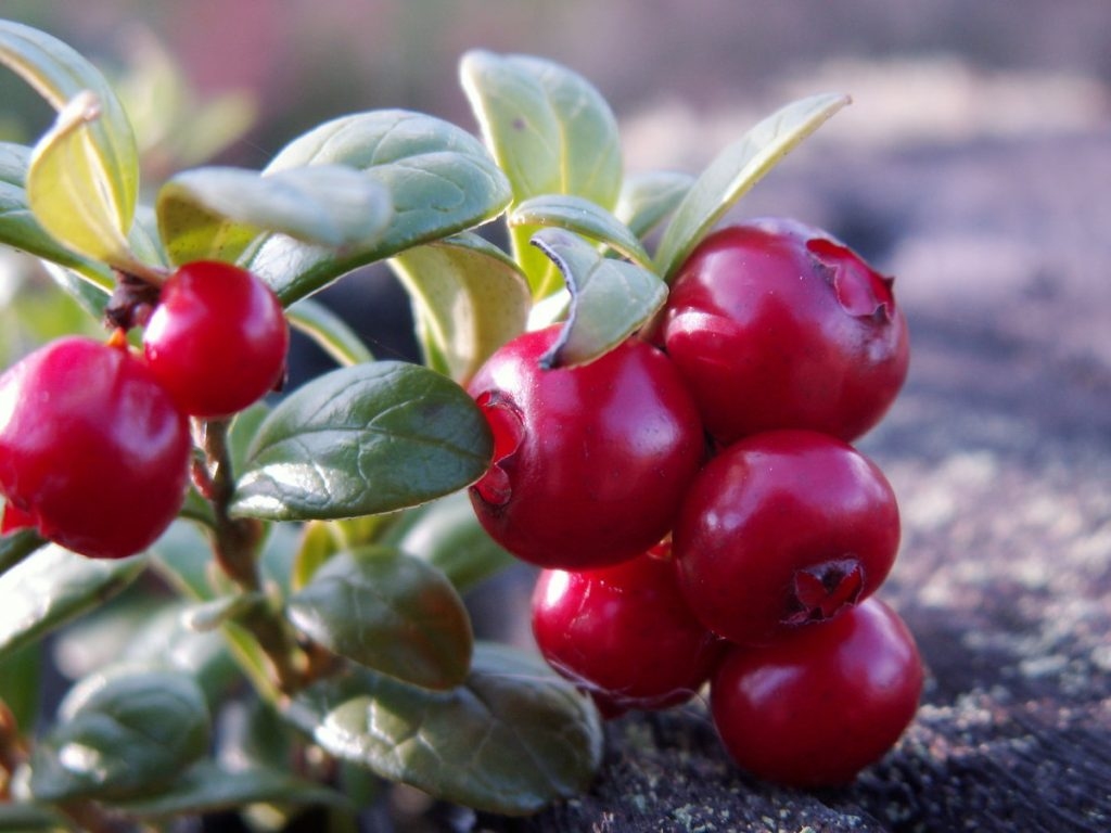 Bilberries - Russian growers of berries will discuss the berry market outlook at Berries of Russia conference