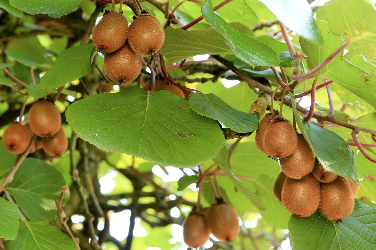 Concerns over how to market bumper New Zealand kiwi crop