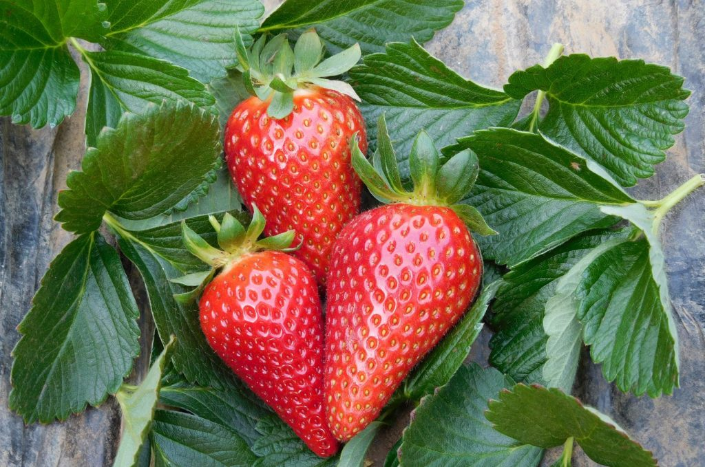 Parthenope®, the new CIV low-chill strawberry variety
