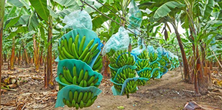 Ecuador's banana imports slip in 2021