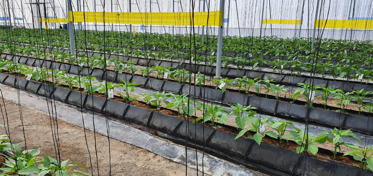 Promising start to IPM programme in Dominican Republic peppers